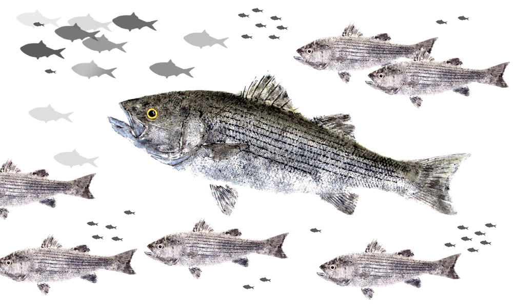 Striped Bass Limited Edition Print